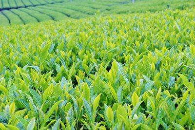狭山茶なら【味の狭山茶 まとば園】~茶葉の栽培から販売まで一貫して対応~