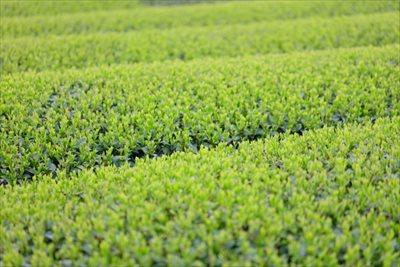 業務用の狭山茶を購入するなら仕入れや大量購入ができる【味の狭山茶 まとば園】