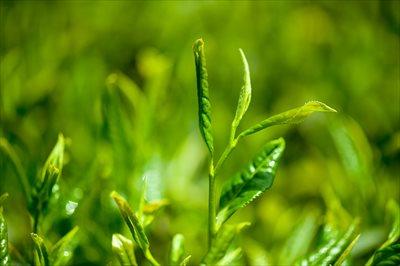 業務用の狭山茶は【味の狭山茶 まとば園】へ~おいしい・こだわりの狭山茶を栽培から販売まで一貫して対応~