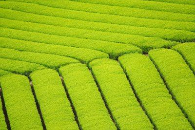 高級緑茶の茶葉を通販で購入する際は栽培から販売まで一貫して行う【味の狭山茶 まとば園】の狭山茶を