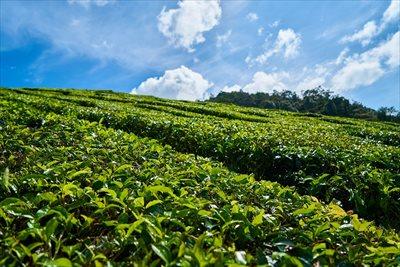 茶葉で卸売の業者をお探しなら【味の狭山茶 まとば園】にお任せください 茶葉の画像