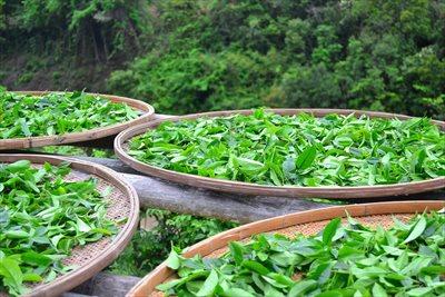 茶葉の卸売は業者【味の狭山茶 まとば園】にご相談ください ~栽培から販売まで一貫して行う「自園自製自販」型の経営スタイル~